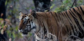 Tigers in Nepal Funding